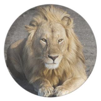Africa. Tanzania. Male Lion at Ndutu in the Melamine Plate