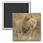 Africa. Tanzania. Male Lion at Ngorongoro Magnets