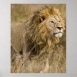 Africa. Tanzania. Male Lion at Ngorongoro Poster