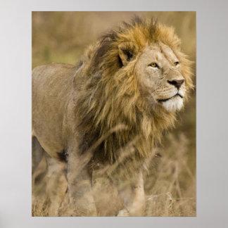 Africa Tanzania Male Lion at Ngorongoro Poster