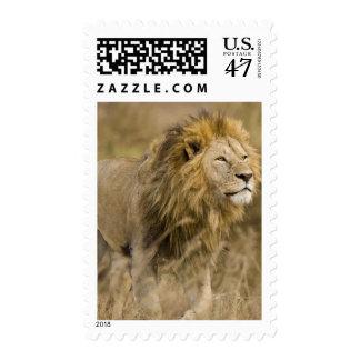 Africa. Tanzania. Male Lion at Ngorongoro Stamp