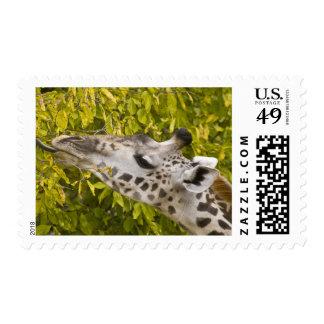 Africa Tanzania Masai Giraffe at Tarangire NP Stamps