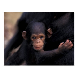 África, Tanzania, parque nacional de Gombe, ligón, Postales
