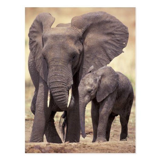 África, Tanzania, parque nacional de Tarangire. 2 Postal