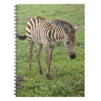 África. Tanzania. Potro de la cebra en Ngorongoro  Libros De Apuntes Con Espiral