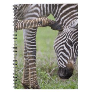 África. Tanzania. Potro de la cebra en Ngorongoro Spiral Notebook