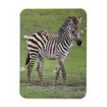 África. Tanzania. Potro de la cebra en Ngorongoro  Imán Flexible