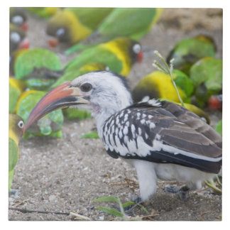 Africa. Tanzania. Red-billed Hornbill and Ceramic Tile