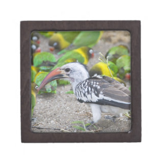 Africa. Tanzania. Red-billed Hornbill and Gift Box
