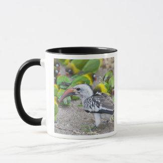 Africa. Tanzania. Red-billed Hornbill and Mug