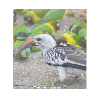 Africa. Tanzania. Red-billed Hornbill and Notepad