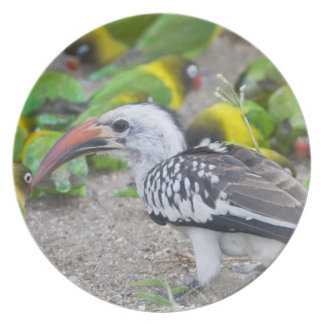 Africa. Tanzania. Red-billed Hornbill and Plate