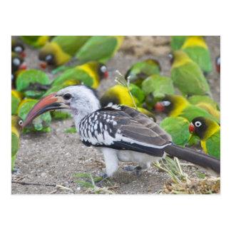 Africa. Tanzania. Red-billed Hornbill and Postcard