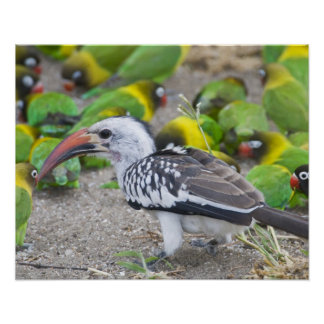 Africa. Tanzania. Red-billed Hornbill and Poster