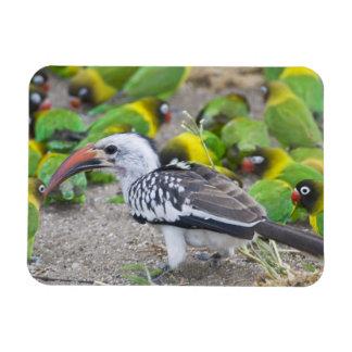 Africa. Tanzania. Red-billed Hornbill and Rectangular Photo Magnet
