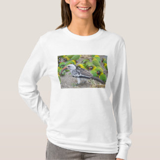 Africa. Tanzania. Red-billed Hornbill and T-Shirt