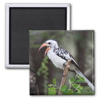 Africa, Tanzania, Red-billed Hornbill (Tockus 2 Inch Square Magnet