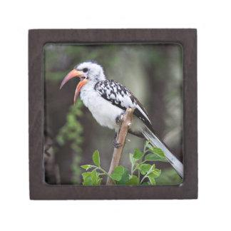 Africa, Tanzania, Red-billed Hornbill (Tockus Keepsake Box