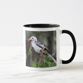 Africa, Tanzania, Red-billed Hornbill (Tockus Mug