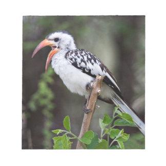 Africa, Tanzania, Red-billed Hornbill (Tockus Notepad