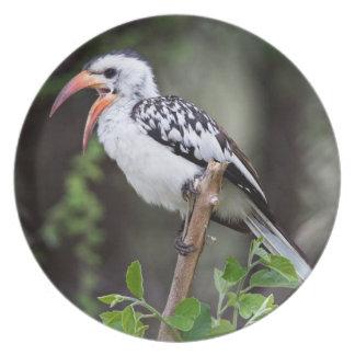 Africa, Tanzania, Red-billed Hornbill (Tockus Dinner Plates