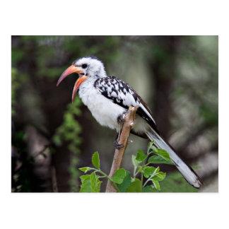 Africa, Tanzania, Red-billed Hornbill (Tockus Postcard