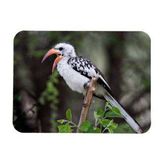 Africa, Tanzania, Red-billed Hornbill (Tockus Rectangular Photo Magnet