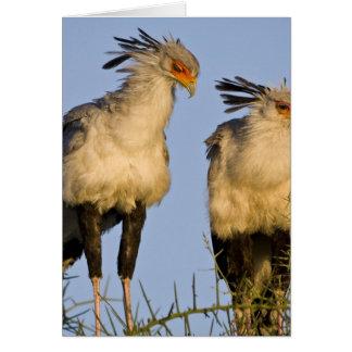Africa. Tanzania. Secretary Birds at Ndutu in Card