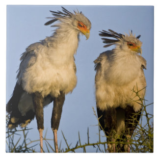 Africa. Tanzania. Secretary Birds at Ndutu in Ceramic Tile