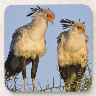 Africa. Tanzania. Secretary Birds at Ndutu in Drink Coaster
