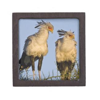 Africa. Tanzania. Secretary Birds at Ndutu in Gift Box