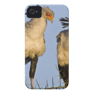 Africa. Tanzania. Secretary Birds at Ndutu in iPhone 4 Case-Mate Case
