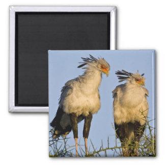 Africa. Tanzania. Secretary Birds at Ndutu in Magnet