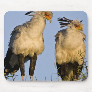 Africa. Tanzania. Secretary Birds at Ndutu in Mouse Pad