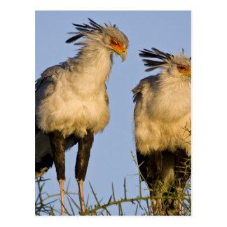 Africa. Tanzania. Secretary Birds at Ndutu in Postcard