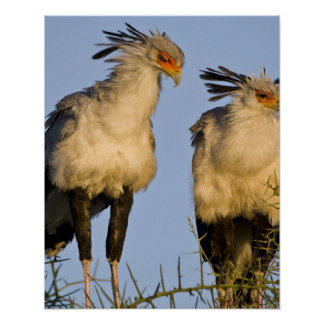 Africa. Tanzania. Secretary Birds at Ndutu in Poster
