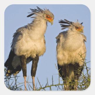 Africa. Tanzania. Secretary Birds at Ndutu in Square Sticker