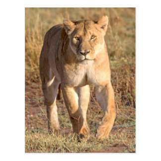 Africa, Tanzania, Serengeti. Lion And Lioness Postcard