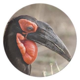 Africa, Tanzania, Southern Ground Hornbill Plate