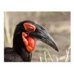 Africa, Tanzania, Southern Ground Hornbill Postcard