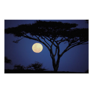 Africa, Tanzania, Tarangire. Acacia tree in Poster