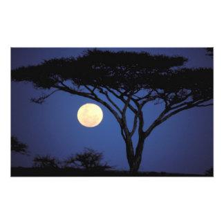 África, Tanzania, Tarangire. Árbol del acacia aden Foto