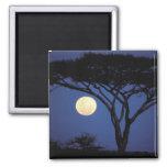 África, Tanzania, Tarangire. Árbol del acacia aden Imán Cuadrado