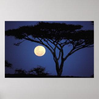 África, Tanzania, Tarangire. Árbol del acacia aden Póster