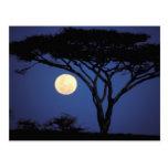 África, Tanzania, Tarangire. Árbol del acacia aden Tarjetas Postales