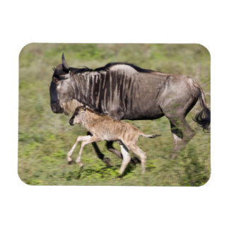 Africa. Tanzania. Wildebeest mother and baby at Magnet