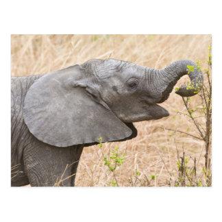 Africa. Tanzania. Young Elephant at Tarangire Postcard
