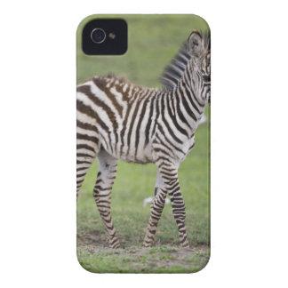 Africa. Tanzania. Zebra colt at Ngorongoro 2 iPhone 4 Cover