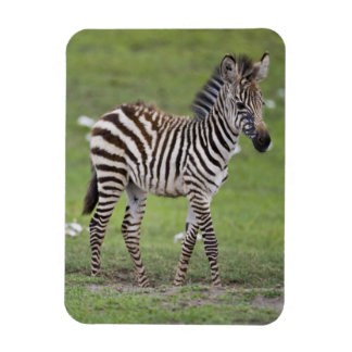 Africa. Tanzania. Zebra colt at Ngorongoro 2 Magnet