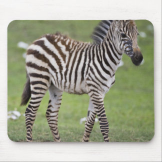Africa. Tanzania. Zebra colt at Ngorongoro 2 Mouse Pad